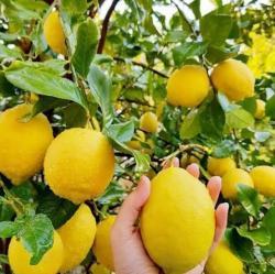 Bibit Jeruk Lemon California